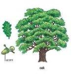 Trees – Деревья: словарь, выражения, слайдшоу